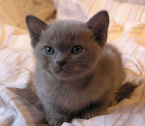 Burmese kittens for sale in scotland